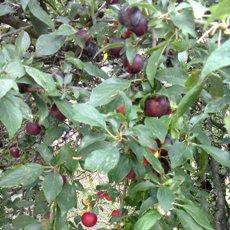 cseresznyeszilva gyümölcs