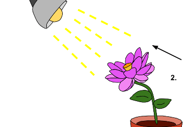 Növényi mozgások: Fototropizmus