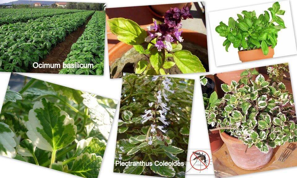 Növényekkel a szúnyogok ellen 5. 4.8 (8)