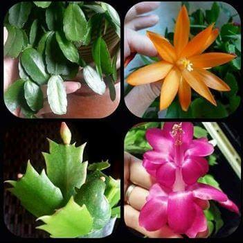 karácsonyi kaktusz és húsvéti kaktusz összehasonlítása