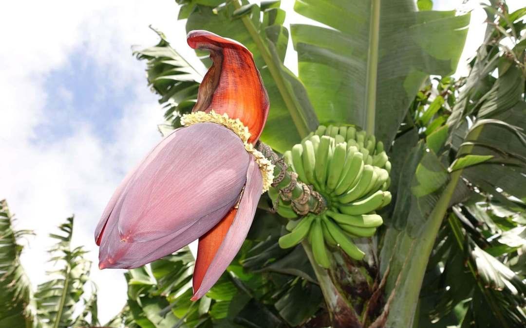 Banán (Musa X paradisiaca) 5 (2)