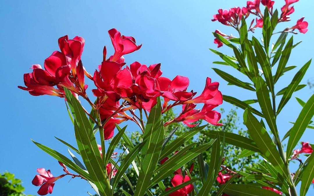 Leander (Nerium oleander) 0 (0)
