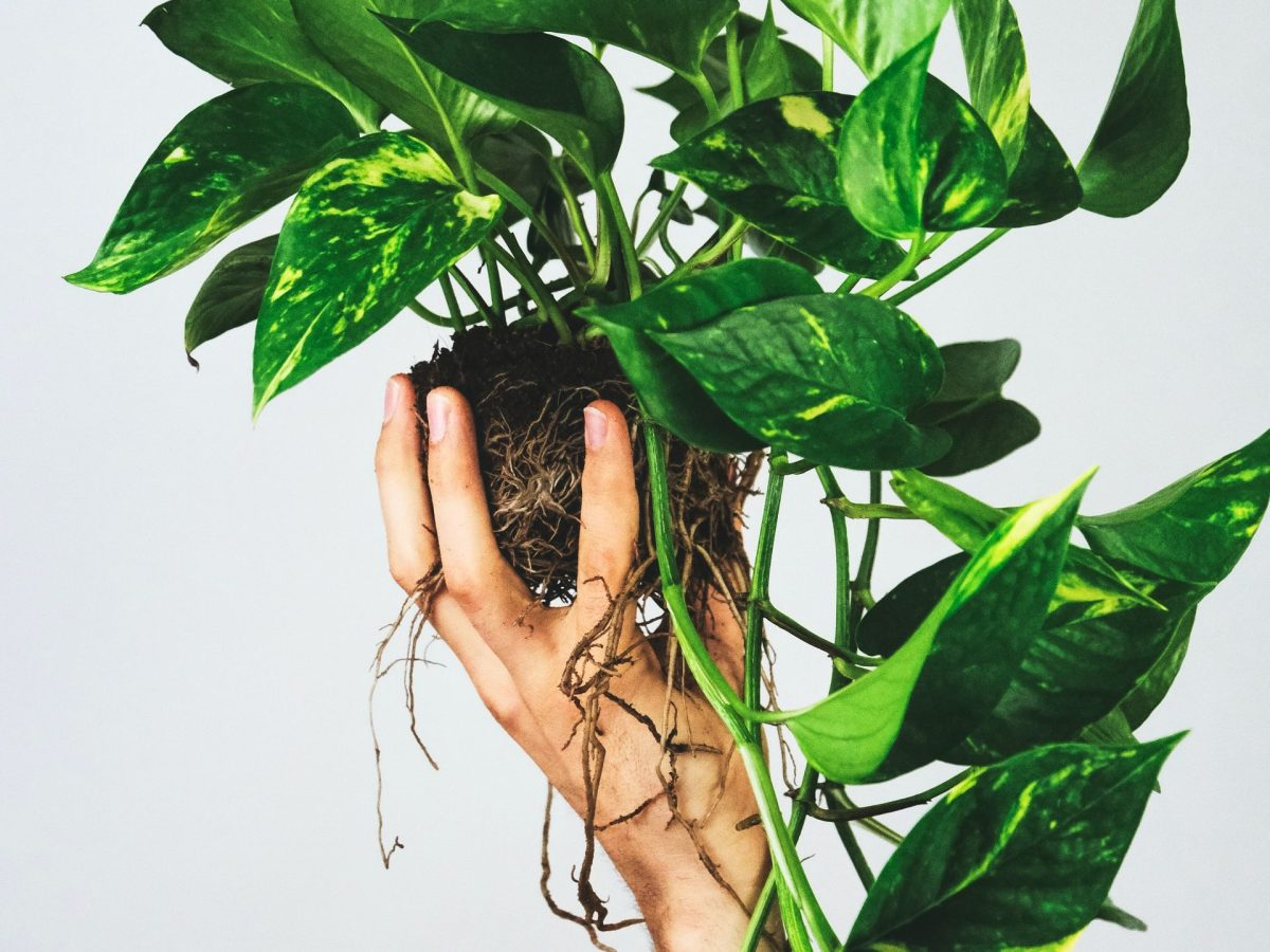 A golden pothos being held in front of a white background.