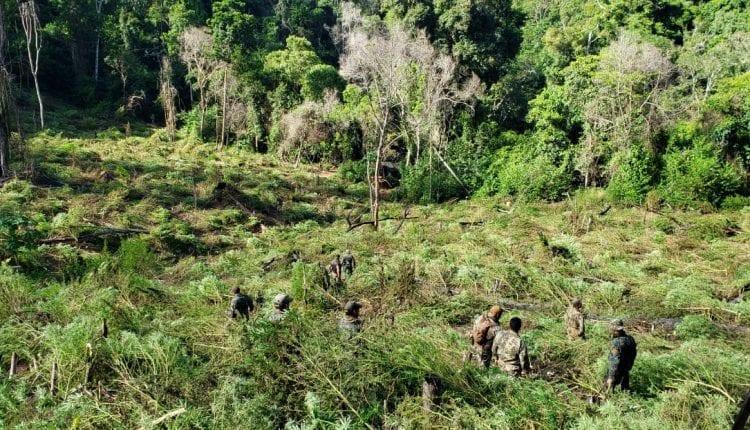 Operação em lavouras de maconha na fronteira de MS gera prejuízo de 32,7 milhões ao narcotráfico