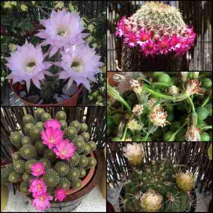 Cactus florecidos