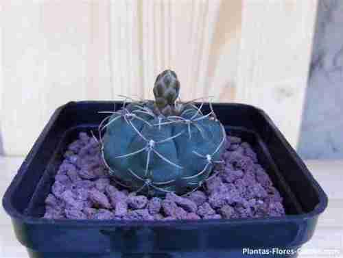 Cactus trasplantado