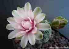 floración de cactus Gymnocalycium cactus con 1 flor muy hermosa