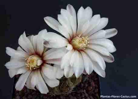 floración de cactus Gymnocalycium un cactus con 2 flores blancas y centro amarillo