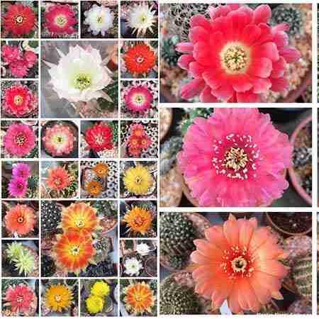 Haz Florecer Cactus sin fallar en el intento 1