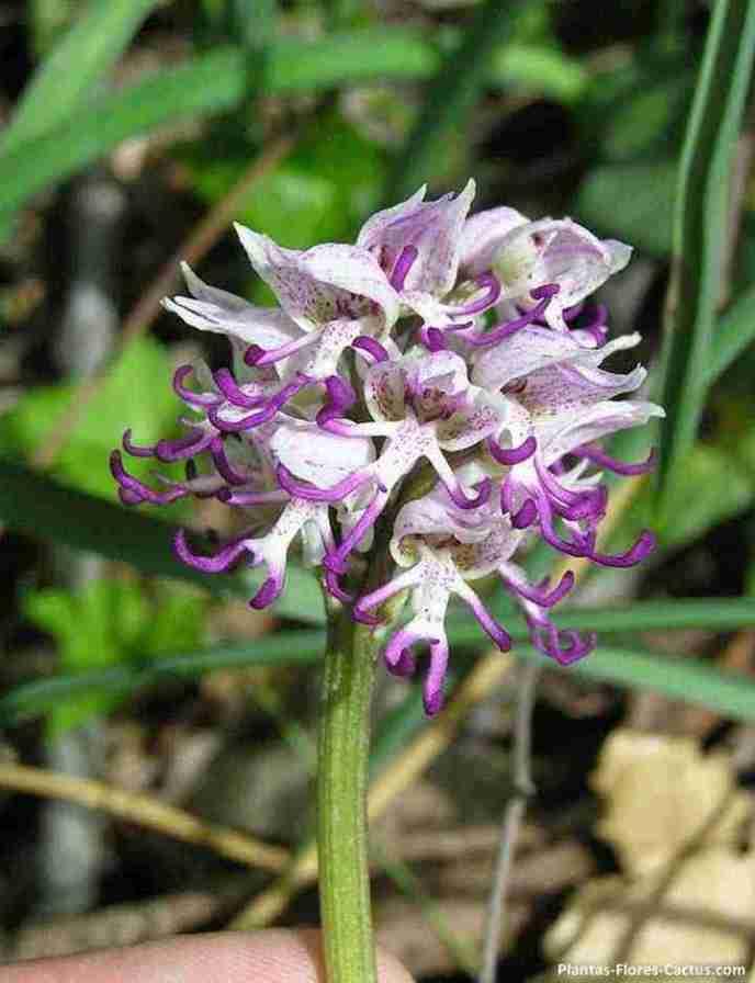 Orchis Italica Poiret
