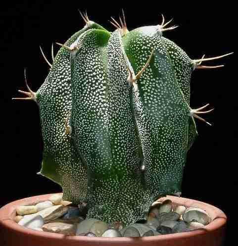 Astrophytum Ornatum - Cuidados y cultivos (Tips) 4