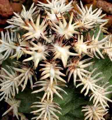 """Cactus mas pequeño del mundo Echinocereus davisii y """"brevispinus"""" 3"""