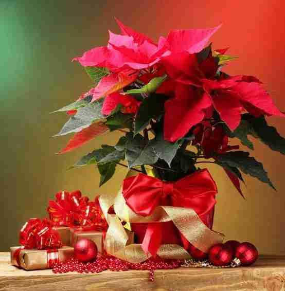 Planta de navidad, Nochebuena - Cuidados, Cultivos y Secretos. 1