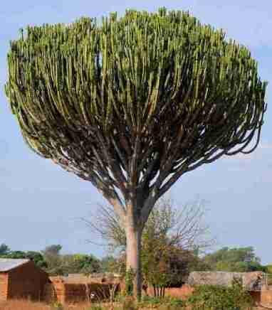 Cactus Candelabro (Increible) o Euphorbia Candelabrum 2