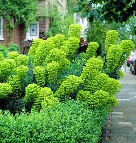 Euphorbia Characias - Admira esta belleza para tu jardin 1