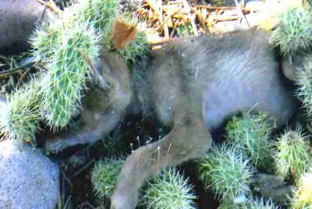 Increible!! Un cachorro de lobo, desesperado por ayuda. Lleno de espinas de Cactus (Opuntia) 1