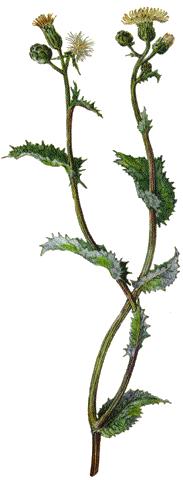 Lletsó (Font: plantas-medicinales.servidor-alicante.com)