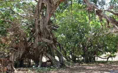 """""""Las Medicinas Tradicionales"""" contra las drogas: Iboga y Ayahuasca en las clínicas de tratamiento contra las drogas en Brasil"""