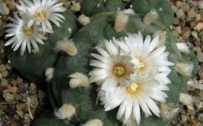 Estrategias de conservación para la sustentabilidad de los jardines de peyote ¿Cuál es el enfoque indígena?