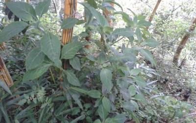 Teonanácatl: Una Medicina Femenina para los Mazatecos