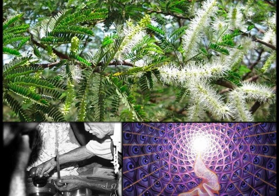 Tepezcohuite/Jurema: El Árbol Medicinal Sagrado de América