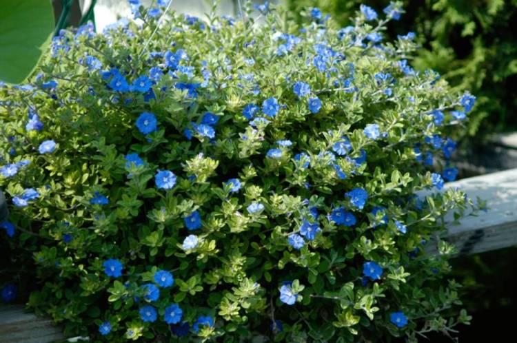 Azulzinha plantas ornamentais para jardim