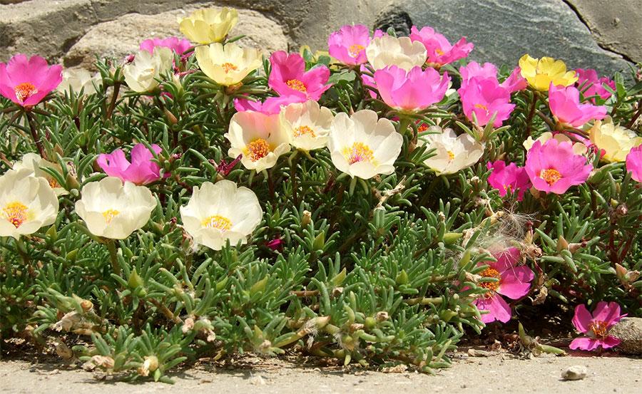 Onze Horas plantas ornamentais para jardim