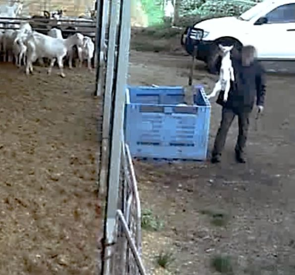 Dairy Farm Footage Shows 'Baby Goats Bludgeoned To Death In Front Of Their  Mothers'