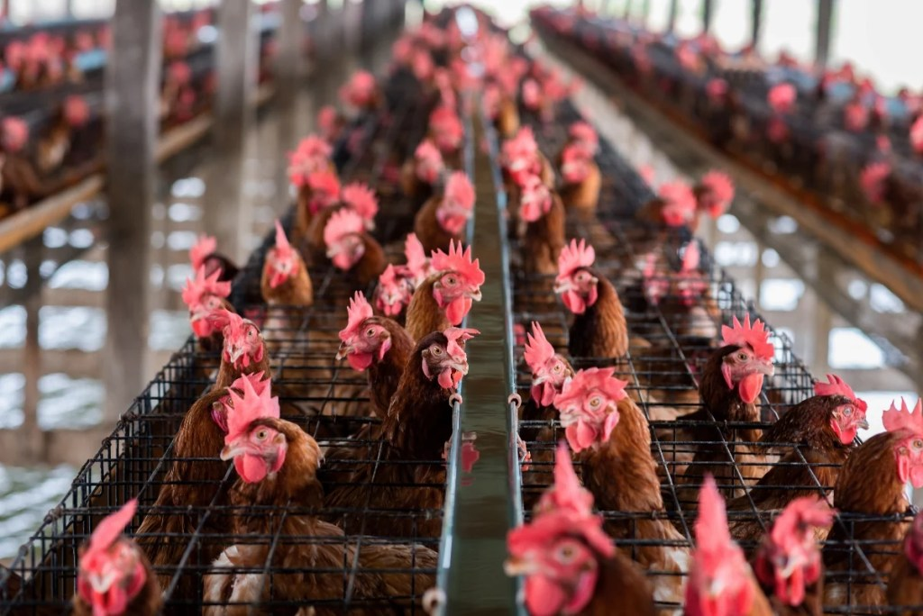 Factory farming chickens