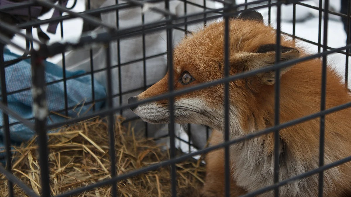 Fox fur farming has been banned in Hungary
