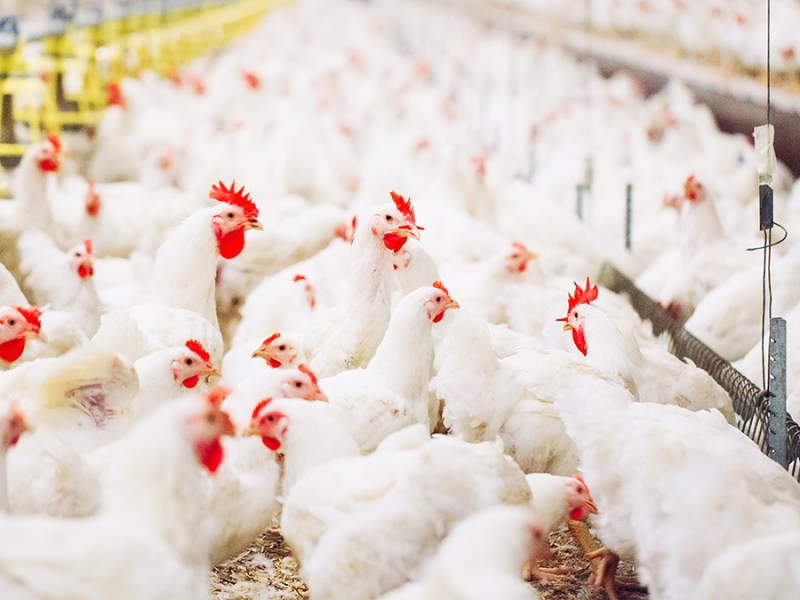 chickens being kept inside to fight the spread of bird flu