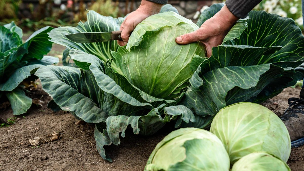A leading UK vegetable grower credits soaring cabbage and broccoli sales to home cooking and veganism during lockdown