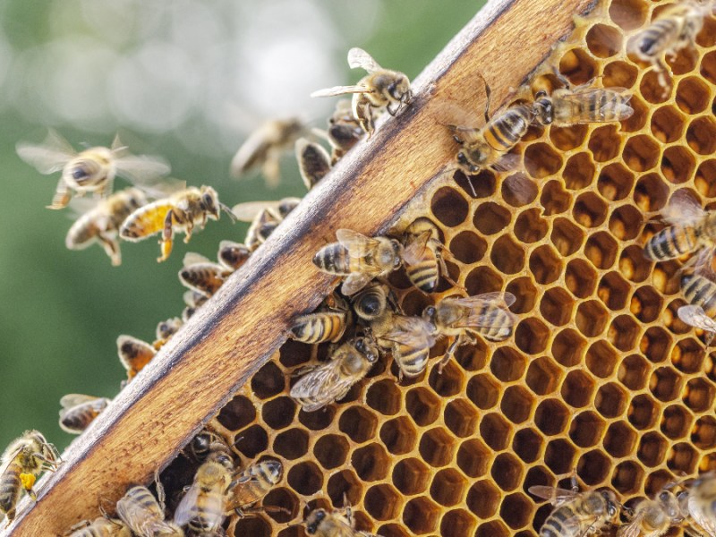 Bees swarm round a hive as they make honey. Is honey vegan?