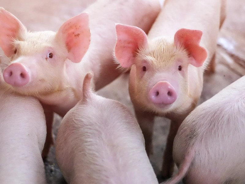 One person saves on average 105 animals per year by eating plant-based, a study published by Animal Charity Evaluators found