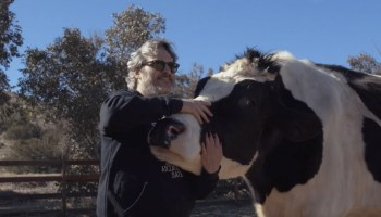 Joaquin Phoenix revisits the cows he rescued from slaughter last year in a short documentary, INDIGO