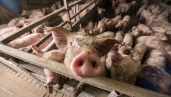 UK Government's Animal Welfare Action Plan Blasted For Not Tackling Factory Farming