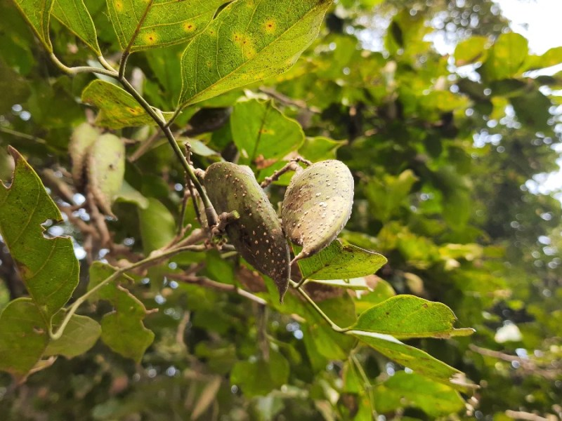 Danone and Terviva are working together on plant-based protein products using the Pongamia tree