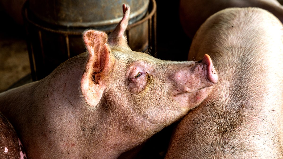 Investigations into UK pig farms have uncovered alarming findings that pick about assured schemes such as Red Tractor, and farms supplying major supermarkets