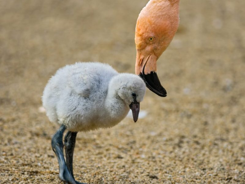 Drought Caused By Climate Change Kills Thousands Of Baby Flamingos