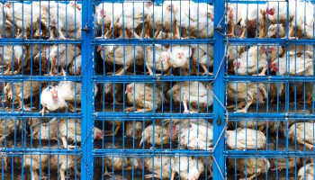 The European Commission has confirmed it will ban the use of 'cruel' animal cages by 2027