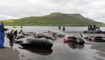 Dead whales on wet pavement beside the shore