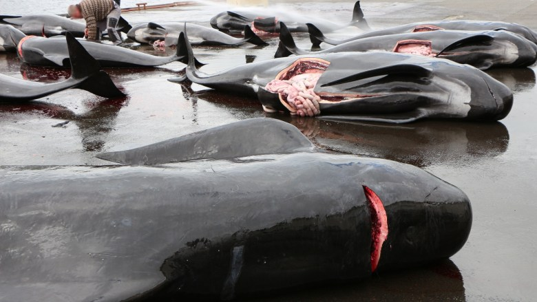 Whales lie on the floor with their throats cut after being hunted in the Faroe Islands