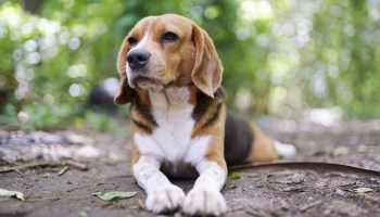 US government and Dr Fauci under fire for dog experiments