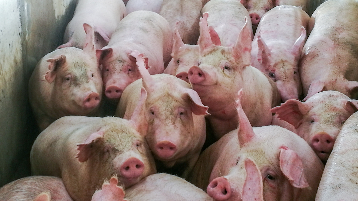pigs-slaughter