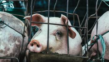 pig in a cage on a factory farm