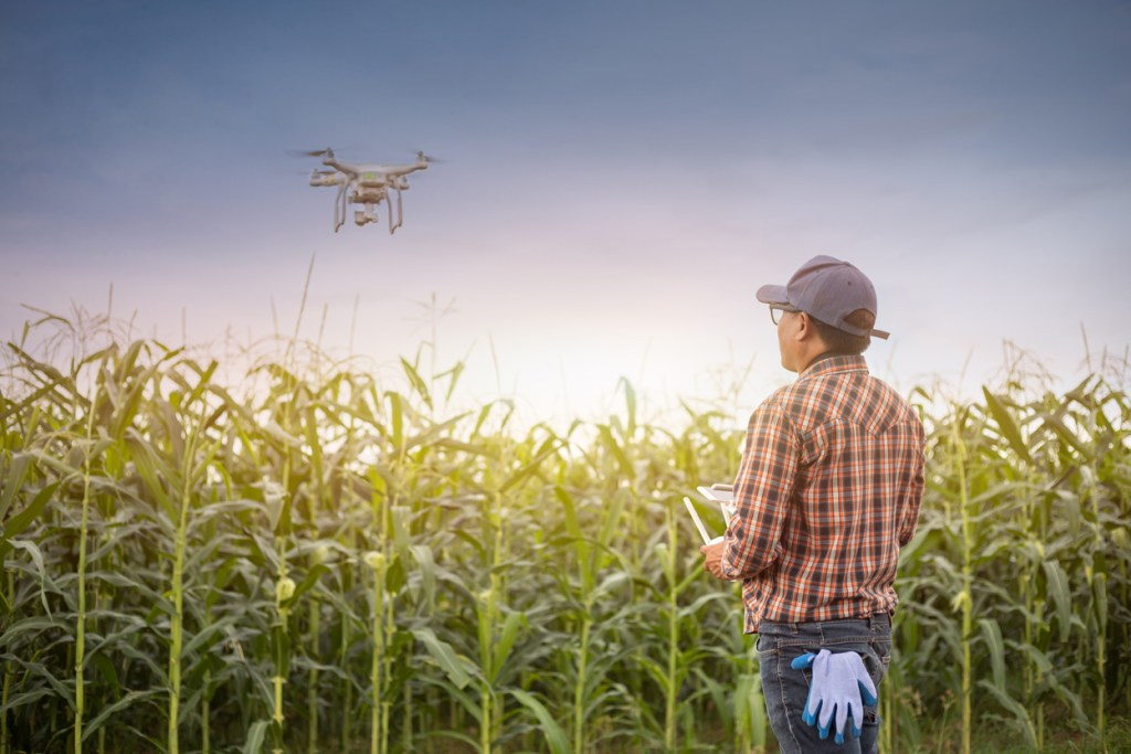 Drone in corn fields