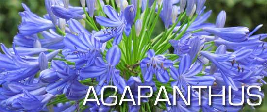 agapanthus plant