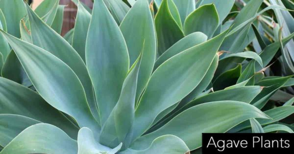 group of Agave attenuata plants