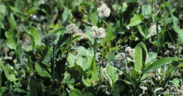 Blooming Antennaria Plantaginifolia (Pussytoes)