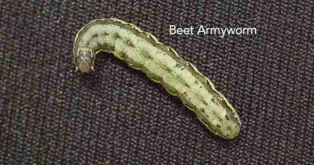 army worm feeding on corn
